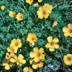 Oxalis chrysantha